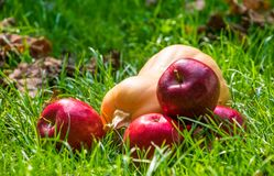Ripe autumn apples and a yellow pumpkin. Scenery for Halloween royalty free stock images