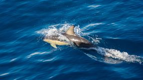 Dolphin taking a breath in blue water stock image