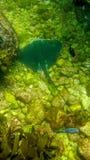 Manta ray swimming on stones royalty free stock image