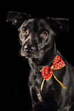 Holiday dog. Against black background Stock Photography