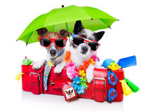 Holiday dogs. On a red bag dressed as tourists Stock Photos