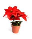 Holiday flower. Holiday red flower in a flower pot decoration isolated over white background Royalty Free Stock Image