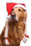 Holiday golden retriever Royalty Free Stock Photography