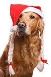 Holiday golden retriever Royalty Free Stock Photography