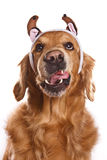 Holiday golden retriever Royalty Free Stock Image