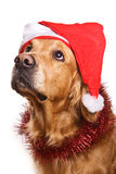 Holiday golden retriever Stock Photos