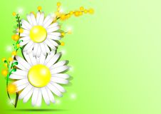 Holiday greeting card with mimosa and shape of 8 from daisies on green background on International Women's Day. March 8 Stock Photography