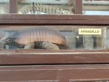 Holiday Hannuka Armadillo in museum. A holiday armadillo in a museum packed in a glass box and labeled as armadillo. Good for books and covers and informative royalty free stock image