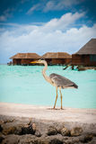 Holiday heron. A heron stands on the shore of a Maldives resort with water villas in the background Royalty Free Stock Image