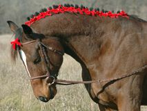 Holiday Horse. Horse with winter coat wearing red ribbons in his mane Royalty Free Stock Photo