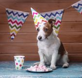 Funny jack russell dog with estival cap on the head. Holiday Jack Russell Terrier at home, inside stock images
