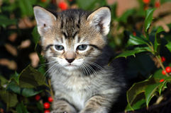 Holiday Kitten Royalty Free Stock Images