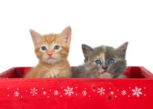 Holiday kittens in red box isolated on white. Two kittens in a red wooden box. Orange ginger tabby and a diluted tortie kittens isolated on white. Christmas stock photography