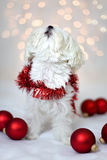 Holiday Maltese Dog Singing. With Christmas lights and bulbs Royalty Free Stock Photo