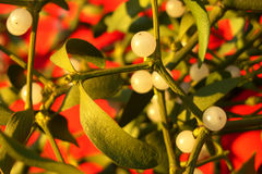Holiday mistletoe. Fresh holiday mistletoe on the branch stock photos