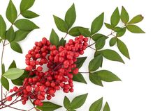 Holiday Nandina Berries Royalty Free Stock Image