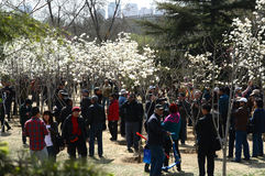 Holiday park. The park crowds of people watched the yulan magnolia Stock Images