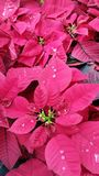 Holiday Poinsettias Stock Photography