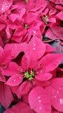 Holiday Poinsettias Stock Photography