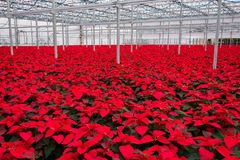 Indoor large greenhouse poinsettia flowers. Holiday poinsettias growing in greenhouse royalty free stock photography
