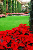 Holiday Poinsettias. Holiday Pointsettias at Longwood Gardens, Pennsylvania royalty free stock photo