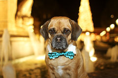 Holiday Puggle Stock Images