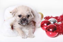 Holiday Puppy. Shot of a Holiday Puppy in a Christmas stocking Royalty Free Stock Photo