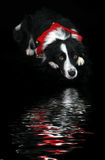 Holiday Reflections. Border Collie above a reflecting pool Stock Photos