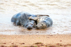 Holiday romance. Breeding pair of grey seals hugging on the sand Royalty Free Stock Images