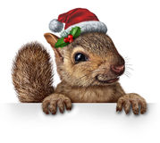 Holiday Squirrel. Wearing a santa clause hat with  holly and red berries hanging over a blank banner sign with copy space as a friendly furry rodent character Stock Photos