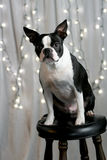 Holiday Terrier. A Boston Terrier sitting on a stool in front of lit Christmas lights Stock Images