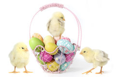 Holiday Themed Image With Baby Chicks and Eggs Stock Photos