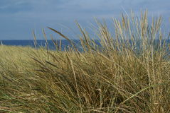 Holiday time near the sea. Typical yellow dune grass at the Baltic Sea in Germany Stock Photos