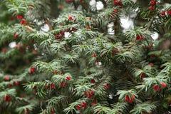 Holiday tree. Red berry tree in cluj, romania stock photos