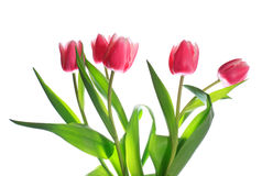 Holiday tulips bouquet isolated on white Royalty Free Stock Photos