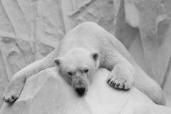 Holidaymaker polar bear Royalty Free Stock Photo