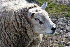 Holländare Texel Ram Sheep Arkivbilder