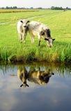Holländarelägenhetlandskap med kor och gräsfält Royaltyfria Bilder