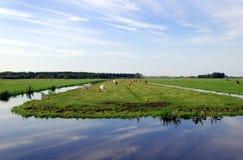 Holländarelägenhetlandskap med kor och gräsfält Royaltyfri Foto