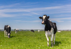 Holländer-Holstein-Kühe im Ackerland nahe Groningen Stockfotografie