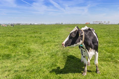 Holländer-Holstein-Kuh im Ackerland nahe Groningen Lizenzfreie Stockbilder