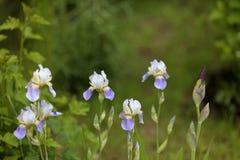 Holländer Iris Dutch Iris hollandica Stockfotos