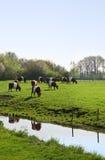 Holländer an umgeschnallt oder Lakenvelder-Kühe Lizenzfreies Stockbild