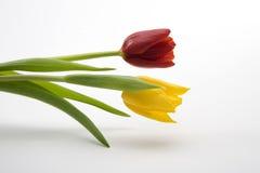 Holländische gelbe und rote Tulpen Lizenzfreies Stockbild