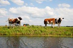 Holländische Kühe Lizenzfreies Stockfoto