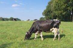 Holländische Kühe Lizenzfreie Stockbilder