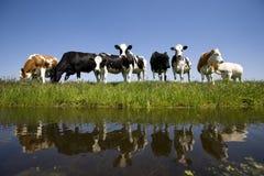 Holländische Kühe Stockfoto