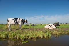 Holländische Landschaft mit Kühen Lizenzfreie Stockfotos