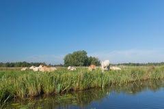 Holländische Landschaft mit Kühen Stockfotografie