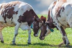 Holländische Milchkühe, die im Frühjahr mit einander spielen Lizenzfreie Stockbilder